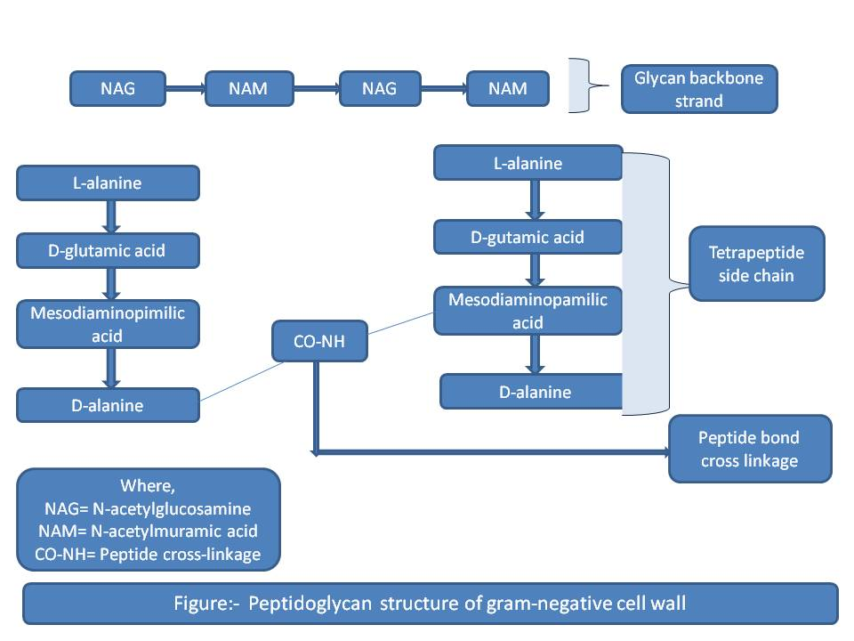 Peptidoglycan structure of Gram negative cell wall