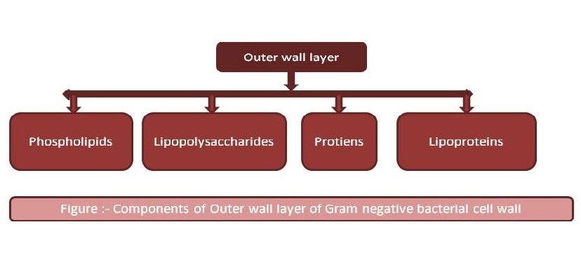 Components of outer wall layer of Gram negative cell