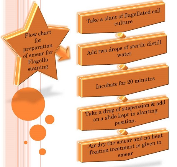 Flow chart of smear preparation for Flagella staining