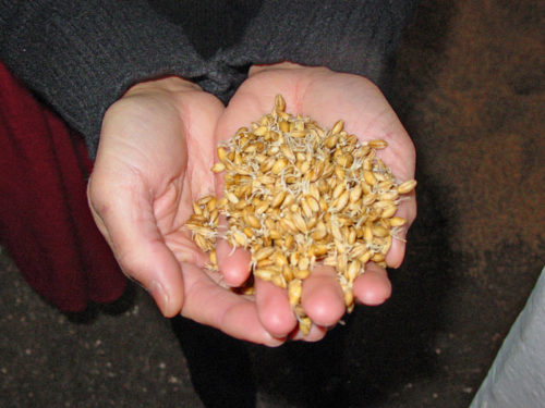 Malted Barley raw material in Beer fermentation