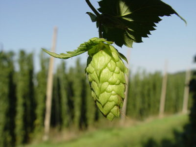 Hops Flower Cone used in Beer fermentation