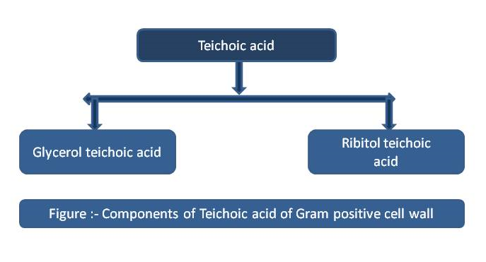 Components of teichoic acid