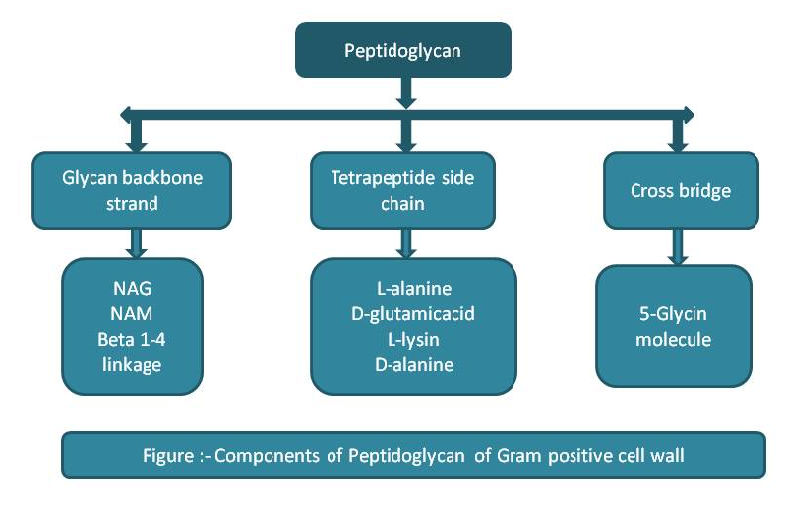Components of Peptidoglycan of Gram positive cell wall